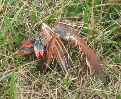 Dead Cardinal