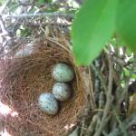 Mockingbird clutch