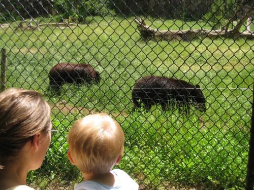 Watching brown bears