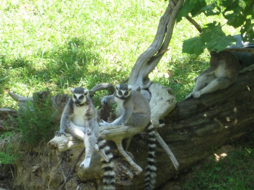 Lemurs at DMLS